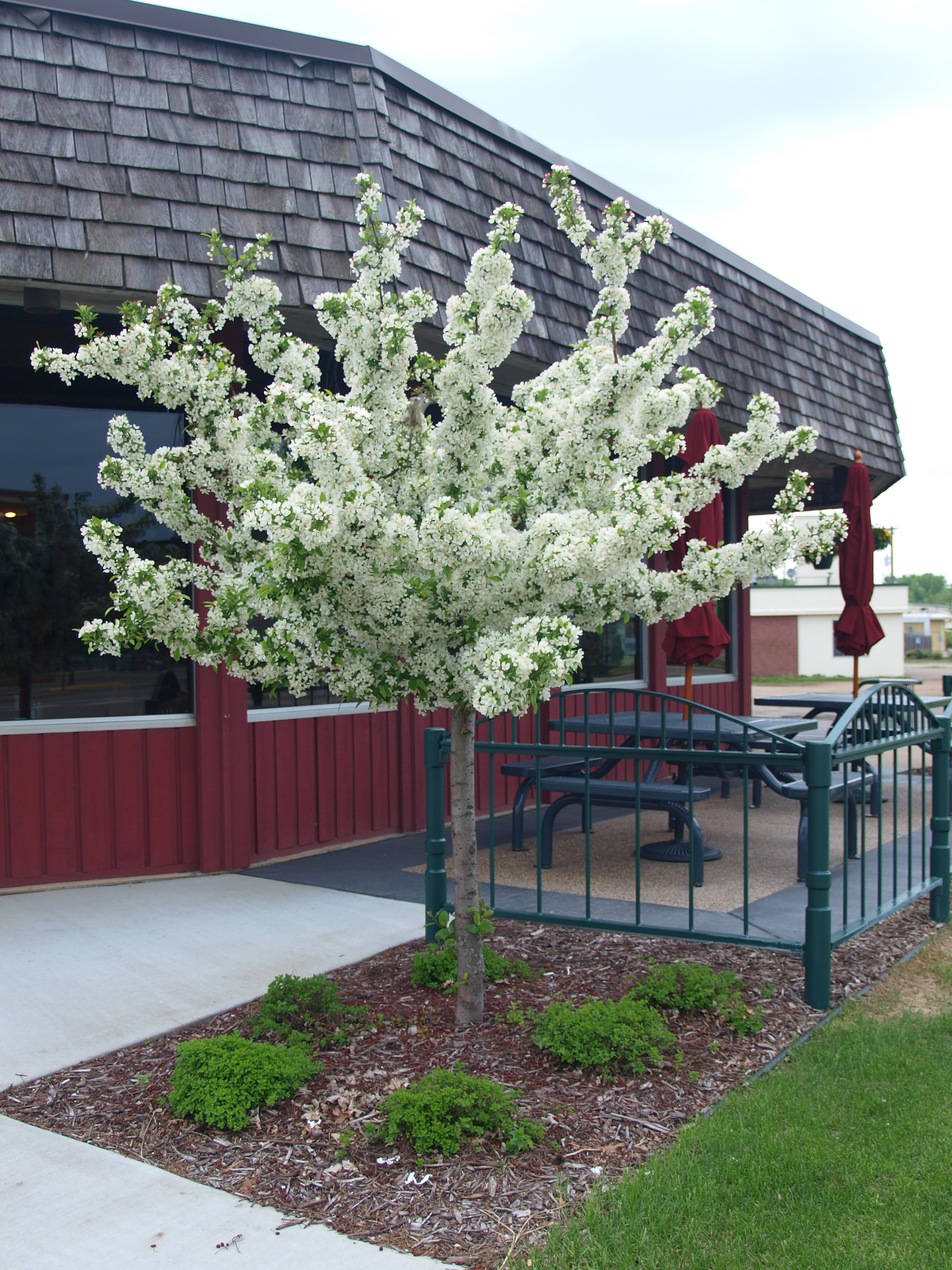Gallery of Trees | Nelson Tree Service